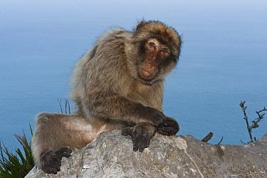 Barbary Macaque (Macaca sylvanus), Gibraltar, United Kingdom  -  Pete Oxford