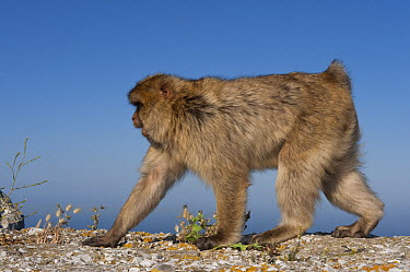 Barbary Macaque (Macaca sylvanus) walking on all fours, Gibraltar, United Kingdom  -  Pete Oxford