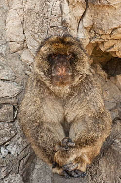 Barbary Macaque (Macaca sylvanus) sitting adult, Gibraltar, United Kingdom  -  Pete Oxford