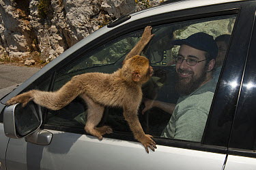 Barbary Macaque (Macaca sylvanus) looking for food in tourist's car, Gibraltar, United Kingdom  -  Pete Oxford