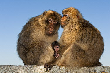 Barbary Macaque (Macaca sylvanus) adults and baby, Gibraltar, United Kingdom  -  Pete Oxford