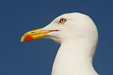 Caspian Gull (Larus cachinnans) profile, Gibraltar, United Kingdom  -  Pete Oxford