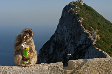Barbary Macaque (Macaca sylvanus) eating potato chips stolen from tourists, Gibraltar, United Kingdom  -  Pete Oxford