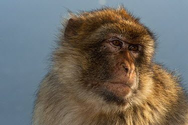 Barbary Macaque (Macaca sylvanus) portrait, Gibraltar, United Kingdom  -  Pete Oxford