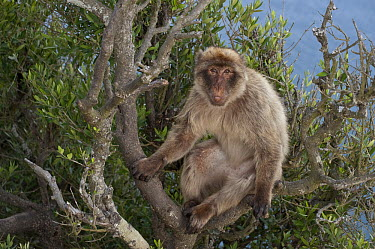 Barbary Macaque (Macaca sylvanus) sitting in a tree, Gibraltar, United Kingdom  -  Pete Oxford