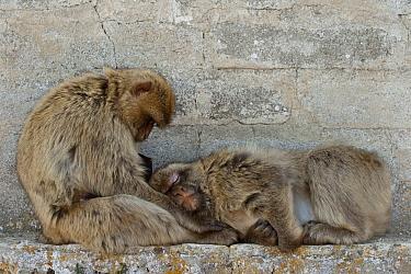 Barbary Macaque (Macaca sylvanus) pair, one sleeping, Gibraltar, United Kingdom  -  Pete Oxford