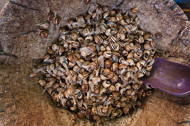 Snails for sale at market, Middle Atlas Mountains, Morocco  -  Pete Oxford