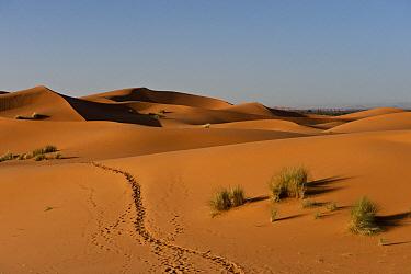 Footpath through dunes of Erg Chebbi near the village of Merzouga, Morocco  -  Pete Oxford