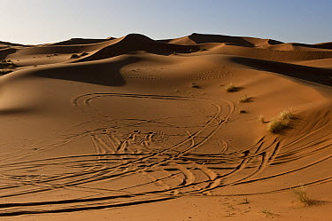 Dunes of Erg Chebbi near the village of Merzouga with vehicle tire marks, Morocco  -  Pete Oxford