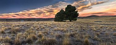 Tussock Grass (Poa flabellata) landscape near Lake Alexandrina with lone tree, Canterbury, New Zealand  -  Colin Monteath/ Hedgehog House