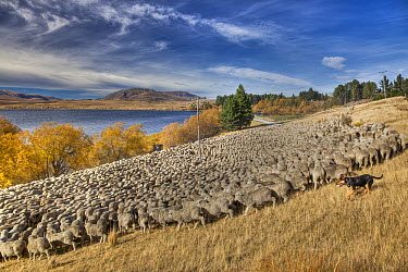 Domestic Sheep (Ovis aries) flock of Merino breed being moved by shepherd and dogs, Arrowsmith Station, Lake Heron, Canterbury, New Zealand  -  Colin Monteath/ Hedgehog House