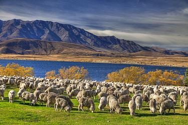 Domestic Sheep (Ovis aries) flock of Merino breed, Arrowsmith Station, Lake Heron, Canterbury, New Zealand  -  Colin Monteath/ Hedgehog House