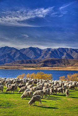 Domestic Sheep (Ovis aries) flock of Merino breed, Arrowsmith Station, autumn, Lake Heron, Canterbury, New Zealand  -  Colin Monteath/ Hedgehog House