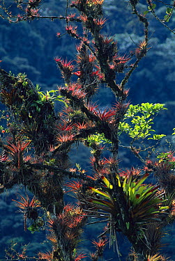 Bromeliad (Bromeliaceae) plants growing as epiphytes in sub-tropical forest, Colombia  -  Murray Cooper