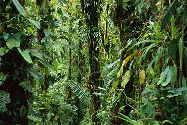 Epiphytes on trees in sub-tropical forest, Colombia  -  Murray Cooper
