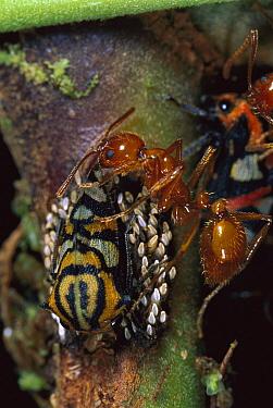 Ponerine Ant (Ectatomma tuberculatum) guarding Treehopper (Adippe sp), western slope of Andes  -  Murray Cooper