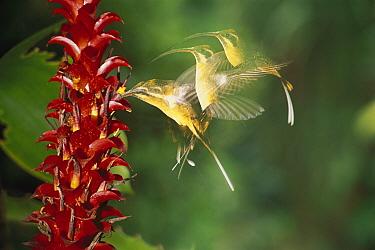Tawny-bellied Hermit (Phaethornis syrmatophorus) hummingbird feeding on flower, multi-flash image  -  Murray Cooper