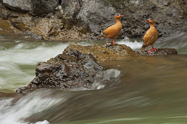Torrent Duck (Merganetta armata) females along stream, Ecuador  -  Murray Cooper