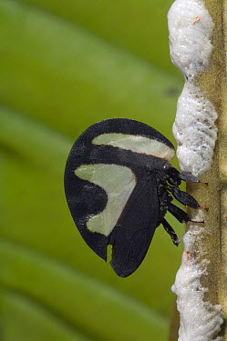 Black-and-white Treehopper (Membracis foliata) female laying eggs and covering them with protective foam, Amazon, Ecuador  -  Murray Cooper