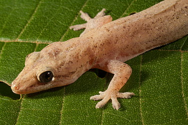 Moreau's Tropical House Gecko (Hemidactylus mabouia), Amazon, Ecuador  -  Murray Cooper