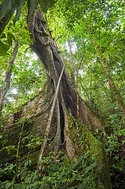Fig (Ficus sp) tree with huge buttress roots, Amazon, Ecuador  -  Murray Cooper