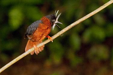 White-plumed Antbird (Pithys albifrons) calling, Ecuador  -  Murray Cooper