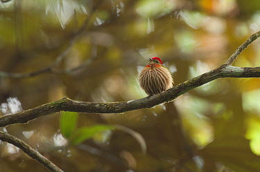 Striped Manakin (Machaeropterus regulus) male, Colombia  -  Murray Cooper