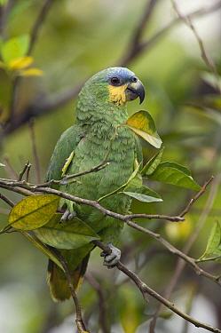 Orange-winged Parrot (Amazona amazonica), Colombia  -  Murray Cooper