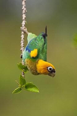 Saffron-headed Parrot (Pionopsitta pyrilia), Colombia  -  Murray Cooper