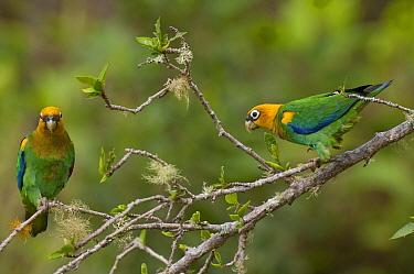 Saffron-headed Parrot (Pionopsitta pyrilia) pair, Colombia  -  Murray Cooper