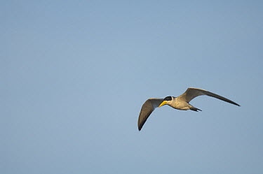 Yellow-billed Tern (Sternula superciliaris) flying, Colombia  -  Murray Cooper