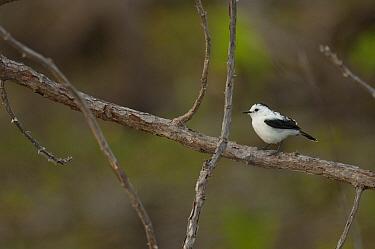 Pied Water-Tyrant (Fluvicola pica), Colombia  -  Murray Cooper