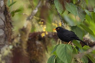 Glossy-black Thrush (Turdus serranus) male, Ecuador  -  Murray Cooper