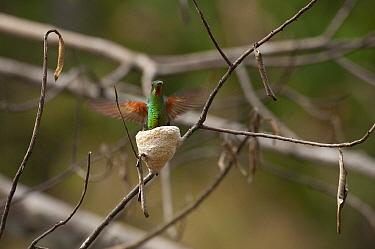 Fiery Topaz (Topaza pyra) female at nest, Ecuador  -  Murray Cooper