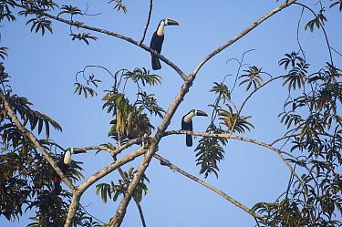 Red-billed Toucan (Ramphastos tucanus) trio in canopy, Ecuador  -  Murray Cooper