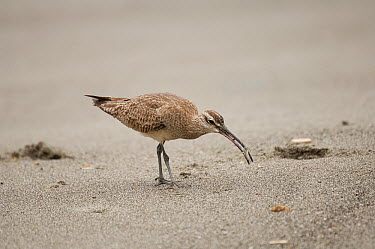 Whimbrel (Numenius phaeopus) foraging, Ecuador  -  Murray Cooper