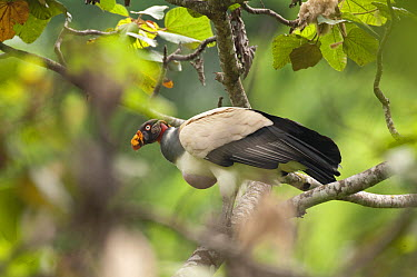 King Vulture (Sarcoramphus papa) with full crop, Ecuador  -  Murray Cooper