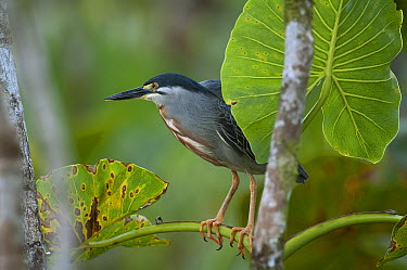 Green-backed Heron (Butorides striatus), Amazon, Ecuador  -  Murray Cooper