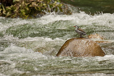 Torrent Duck (Merganetta armata) male on rock in stream, Ecuador  -  Murray Cooper