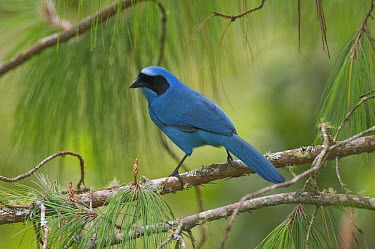 Turquoise Jay (Cyanolyca turcosa), Ecuador  -  Murray Cooper