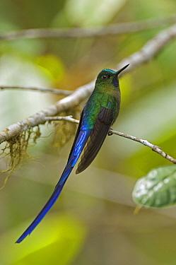 Long-tailed Sylph (Aglaiocercus kingi) hummingbird male, Ecuador  -  Murray Cooper