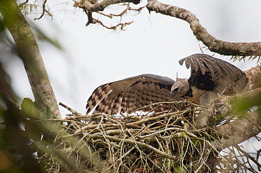 Harpy Eagle (Harpia harpyja) landing at nest, Ecuador  -  Murray Cooper
