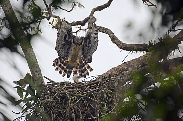 Harpy Eagle (Harpia harpyja) parent landing at nest with chick, Ecuador  -  Murray Cooper