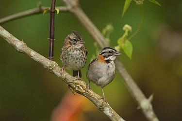 Rufous-collared Sparrow (Zonotrichia capensis) male and female, Ecuador  -  Murray Cooper