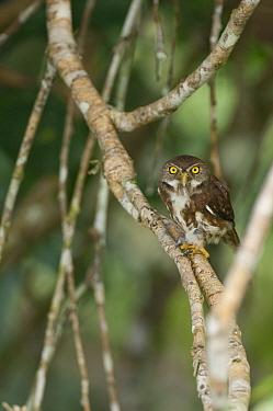 Ferruginous Pygmy Owl (Glaucidium brasilianum), Ecuador  -  Murray Cooper