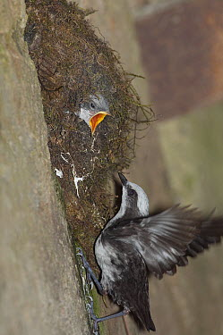 White-capped Dipper (Cinclus leucocephalus) arriving at nest with begging chick, Ecuador  -  Murray Cooper