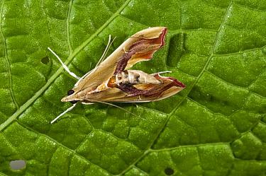 Erythrina Leafroller (Agathodes designalis), Ecuador  -  Murray Cooper