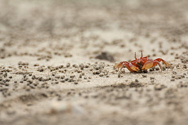 Ghost Crab (Ocypode sp) on beach surrounded by sand pellets which are by-products from the crab's feeding, Ecuador  -  Murray Cooper