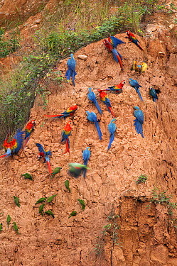 Scarlet Macaw (Ara macao) and Blue and Yellow Macaw (Ara ararauna) flock at clay lick, Peru  -  Murray Cooper