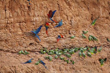 Scarlet Macaw (Ara macao), Blue and Yellow Macaw (Ara ararauna) and Mealy Parrot (Amazona farinosa) flock at clay lick, Peru  -  Murray Cooper